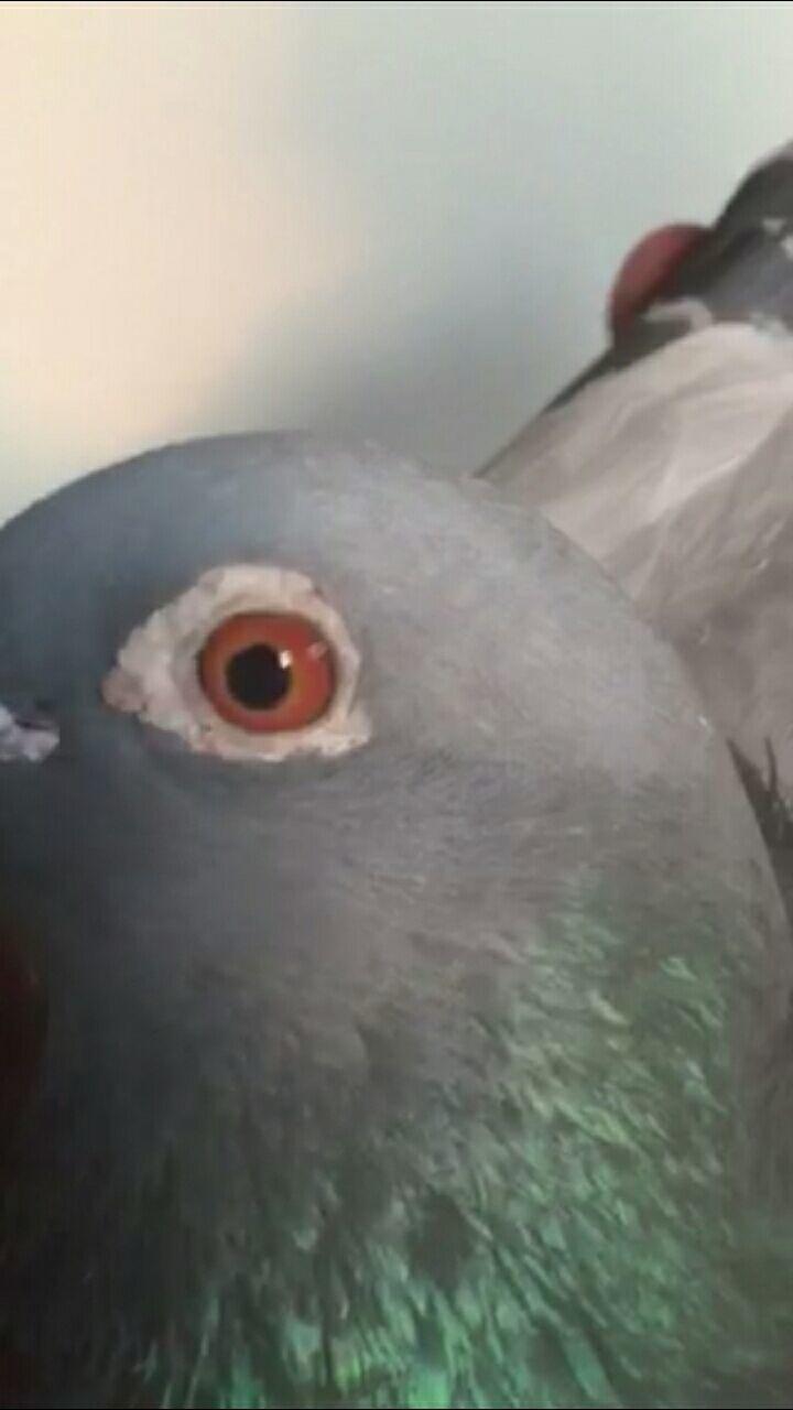 一羽超级赛鸽!(雄) 15-3126502
